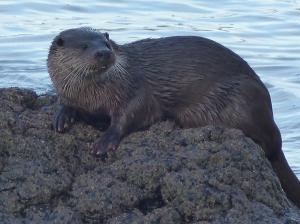 Otter , Loch na Keal