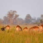 Walking in the Okavango Delta(without a rifle)