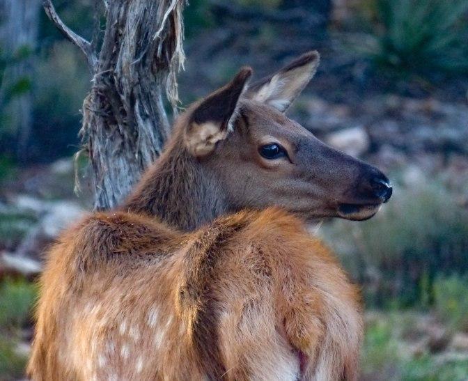 elk-fawn