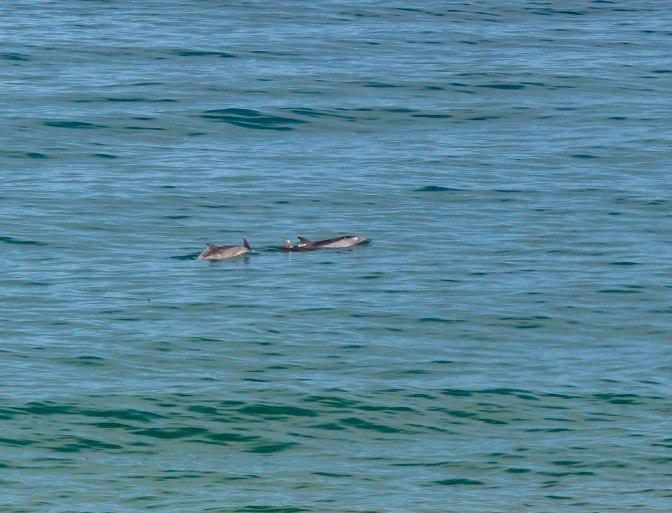 dolphins-cambria