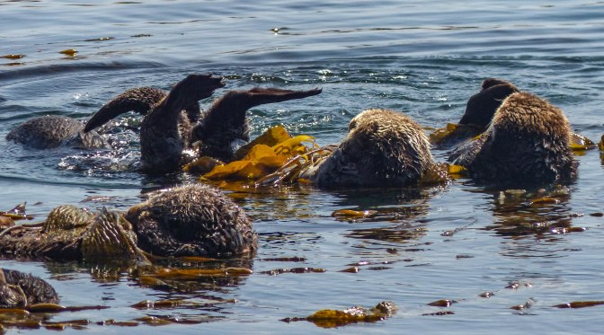 sea-otters-morro-bay