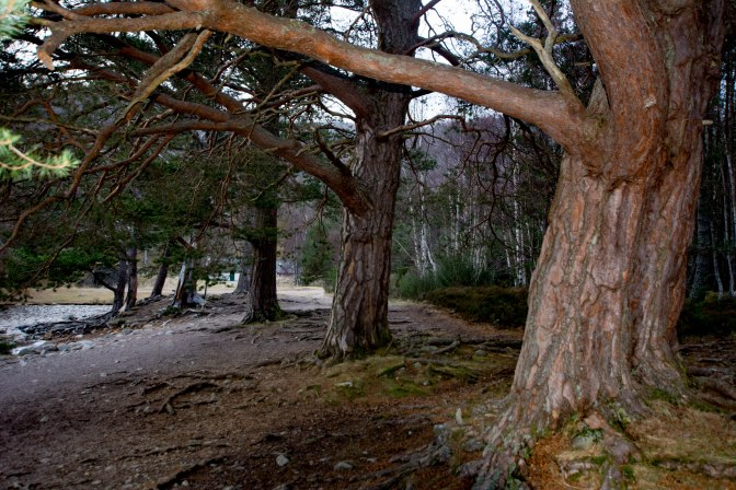 ancient-caledonian-pinewood