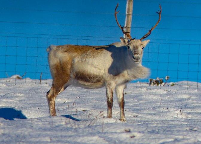 male-reindeer