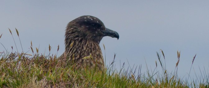 nesting skua